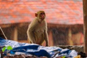 droevige aap zittend op de muur in de regen foto