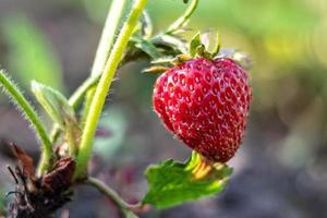 op een onscherpe achtergrond, rijpe rode aardbeien op een struik in de tuin. foto