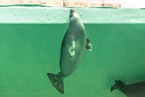 de baikal-zeehond zwemt onder water. zeehond in het aquarium. observatie van de dierenwereld. foto