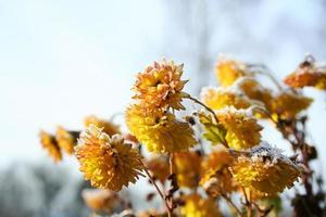 gele bloemen zijn bedekt met vorst. gele chrysanten bedekt met sneeuw foto