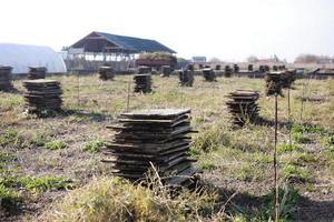 biologische landbouw, landbouw, eetbare slakken op houten planken. productie van slakken. slakken boerderij. slakken zijn weekdieren met een bruin gestreepte schaal, in het stadium van rijping. foto