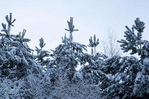 winter besneeuwde bomen, fantastisch besneeuwd bos foto