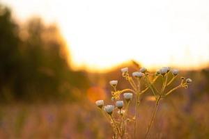 zomer madeliefjes bij zonsopgang, ochtendzon in de natuur landschap foto