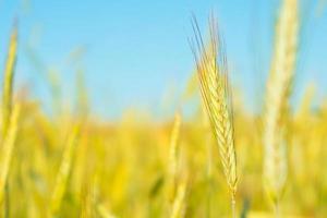 gele aartjes van tarwe op blauwe hemelachtergrond foto