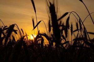 aartjes van tarwe close-up in de stralen van de gele warme zon bij zonsopgang, zonsopgang boven een tarweveld op het platteland foto