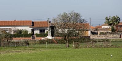 ooievaars vliegen in aveiro, portugal foto