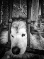 Siberische hond achter de tralies foto