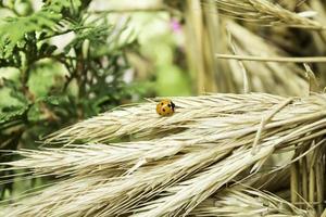 lieveheersbeestje op plant foto