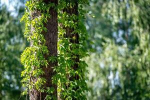 close-up van klimop op boomstammen foto