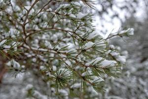de met sneeuw bedekte dennentak. besneeuwd bos. foto
