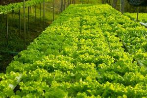 plantaardige groene eik groeit in hydrocultuur systeem stroom water en bemesting automatisering op plantperceel foto
