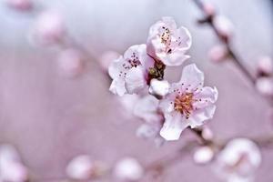 lentebloesems, roze perzikbloemen. foto