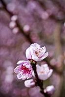 lentebloesems, roze perzikbloemen foto