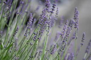 kleine paarse lavendel bloemen foto
