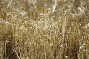 tarwe veld landbouw foto