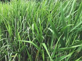 groene struikgewas van riet op het meer foto