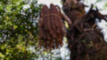 wazige foto's van bomen en palmfruit die aan de boom hangen foto