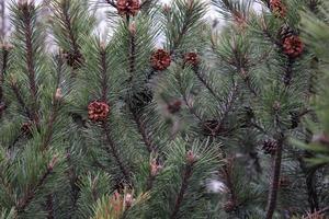 achtergrond van takken van een kerstboom foto