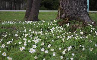 fantastische primula's in het vroege voorjaar in het bos foto