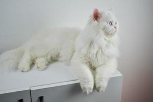 Perzische poppengezicht chinchilla witte kat. pluizig schattig huisdier met blauwe ogen foto
