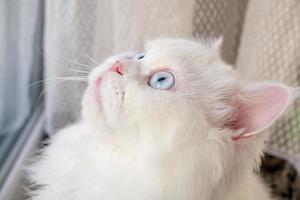Perzische poppengezicht chinchilla witte kat. pluizig schattig huisdier met blauw oog foto