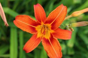 oranje leliebloem op een groene achtergrond foto