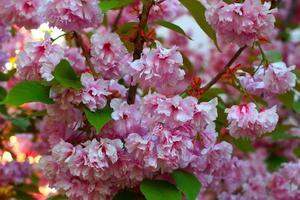 Sakura Japanse decoratieve boom. roze bloei in het voorjaar. foto