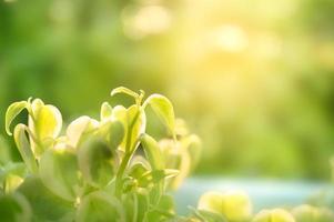 peperomia groene bladeren in de tuin op natuurlijke achtergrond foto