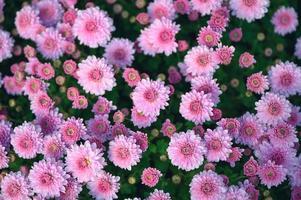roze asteraceae bloem bloeien in de tuin foto