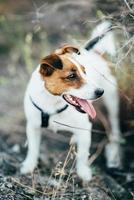 een kleine hond van het ras jack russell terrier tijdens een wandeling foto