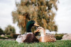 een eend en een woerd zitten op het groene gras foto