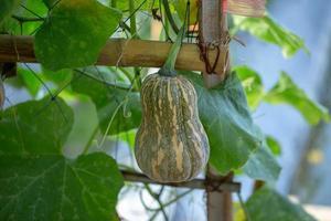 pompoenen die aan het bamboehek in de tuin hangen foto