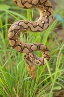 boa slang in het gras, boa constrictor slang op boomtak foto
