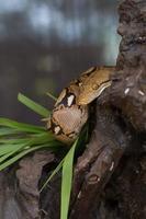 boa portret, boa constrictor slang op boomtak foto