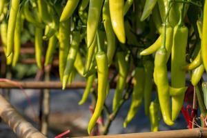 rijpe groene pepers aan een boom, groene pepers groeien in de tuin foto