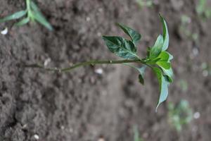 groen gekleurde chiliboom stevig foto