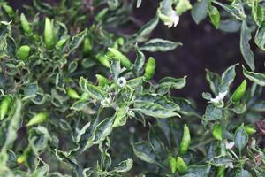 groen gekleurde chili op boom foto