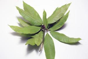 groen gekleurde mangoblad close-up foto