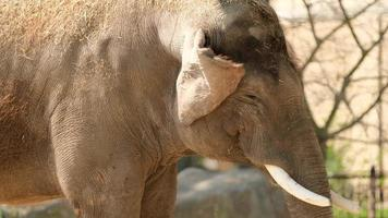 olifant kauwt op voedsel in dierentuin foto