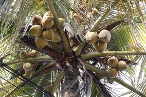 rijpe kokosbouillon op boom foto