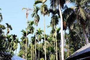 kokospalm op stevig foto