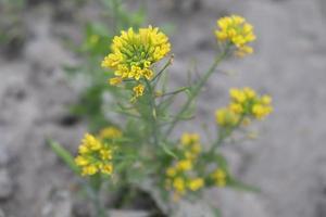 geel gekleurde mosterdbloem close-up foto