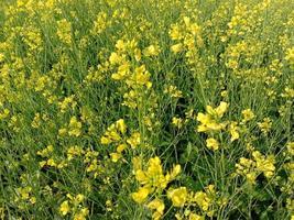 geel gekleurde mosterdbloem stevig foto
