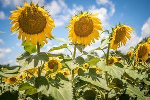 famland gevuld met zonnebloemen op zonnige dag foto