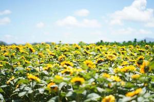 zonnebloem veld met blauwe hemel foto