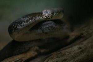 Macklot's python klaar om aan te vallen foto