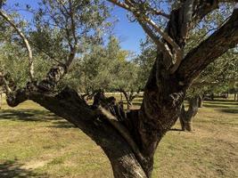 olijfbomen in het casa de campo park in madrid, spanje foto