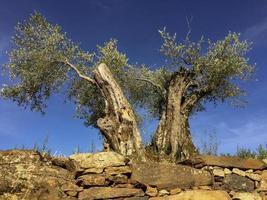 zeer oude olijfbomen in portugal foto