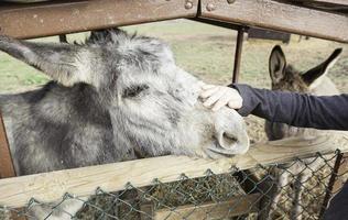 een ezel aaien op een boerderij foto
