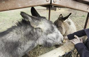 ezels eten boerderij foto